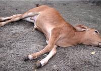 59 người nhập viện vì ăn thịt bò bệnh