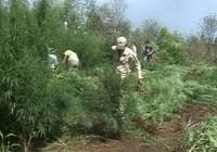 'Xen canh' cần sa trong vườn rau