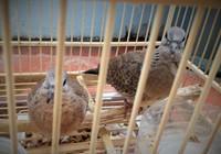 Bị bắt vì 'xin đểu' 2 con chim cu đất