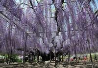 """Ngắm 'Á hậu hoa"""" ngàn năm tuổi ở xứ Phù Tang"""
