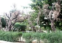 Cứu lấy hàng phi lao cổ thụ dọc bờ biển Nha Trang
