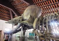 Ngắm bộ xương cá voi khủng trên đảo Phú Quý