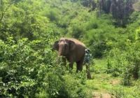 'Bà bầu' voi nhà đầu tiên ở Đắk Lắk chuẩn bị vượt cạn