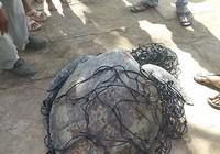 Bạc Liêu: Phát hiện rùa biển nặng 62 kg