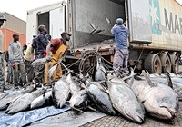 Tàu cá Trung Quốc vét cá Tây Phi