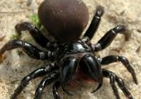 Nhiều loài nhện quý hiếm được phát hiện tại Úc và Ấn Độ