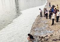 Cá chết hàng loạt trên sông Hải Hà
