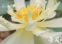 Hạt sen 600 tuổi bất ngờ nở hoa