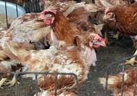 Phát hiện ba ổ dịch cúm A (H5N1) trên gia cầm