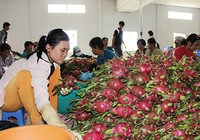 Trái cây Thái 'mượn' Việt Nam tiến vào Trung Quốc