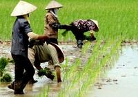 Lợi nhuận trồng lúa tăng 40% nhờ 'bắt tay nhau'