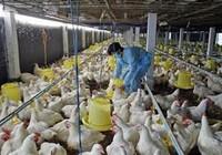 Gà từ 24 quốc gia đang 'tấn công' gà Việt Nam