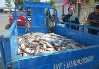 14 cơ sở phải bồi thường tiền tỉ do làm chết cá nuôi