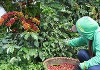 Cà phê Việt ngon số 1 thế giới bị 'ruồng bỏ'
