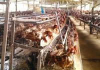 Lạm dụng kháng sinh trong chăn nuôi