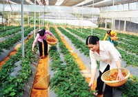 Nhà vườn Đà Lạt trồng xà lách theo công nghệ châu Âu