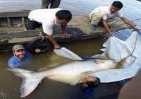 Bắt được cá da trơn hơn trăm ký trên sông Mê Kông