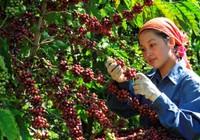 Tăng thu nhập 16 triệu đồng cho người trồng cà phê