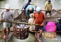 Cá tra Việt phải nuôi theo kiểu Mỹ