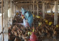 Bà Rịa-Vũng Tàu tiêu hủy 40 tấn gà nhiễm cúm H5N1