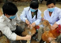 Hai địa phương đầu tiên có dịch cúm gia cầm trong năm 2016