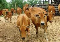 Chuyện đàn bò của Hường