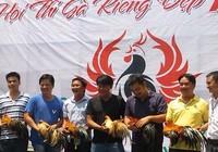 Dân chơi Sài Gòn chăm gà để thi hoa vương