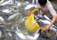 Trung Quốc ồ ạt mua cá tra, coi chừng 'bẫy giá ảo'