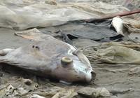 Cá chết nhiều ngày, vẫn mù mờ nguyên nhân