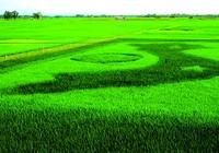 Vẽ Tổ quốc trên đồng bằng giống lúa mới