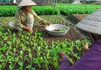 TP.HCM phối hợp sản xuất nông nghiệp sạch với Hậu Giang
