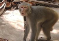 Rắc rối xử lý con khỉ nuôi sổng chuồng