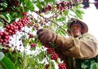 'Làm' cà phê cũng được chứng nhận chất lượng phân bón!