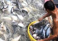 Người Thái thích ăn cá tra Việt Nam