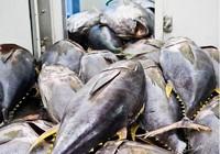 Cá ngừ Việt sang Mỹ phải đạt chứng nhận 'an toàn cá heo'