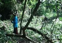 Phá 630 ha rừng tự nhiên để nuôi bò (?!)