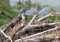 Đối diện 3 năm tù vì chặt 52 cây bạch đàn