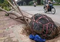 Hà Nội: Nêu tên các đơn vị trồng cây để nguyên bầu nylon