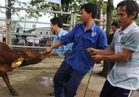 Hội Chữ thập đỏ TP trao tặng bò cho người nghèo