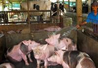 Chất cấm salbutamol trong chăn nuôi đã được đẩy lùi