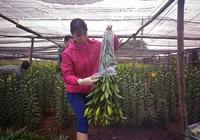 Hoa nở sớm, người trồng méo mặt