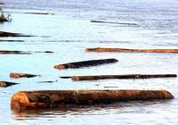 Hàng chục bè gỗ lậu… trôi lạc trên sông!