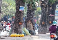 Lột vỏ cây xanh đường phố, ai xử phạt?