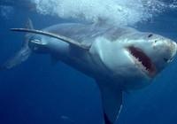 Cá mập bơi lạc 10 km vào sâu trong đất liền