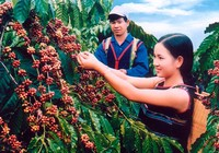 Thăm xứ sở cà phê sạch Đắk Hà