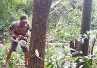 Xóa hàng trăm hecta rừng để… nuôi bò