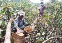 'Quan điểm nhất quán là không được phá rừng tự nhiên…'