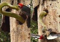 Clip: Cuộc chiến không cân sức giữa chim gõ kiến và rắn