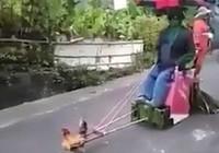 Gà trống kéo xe