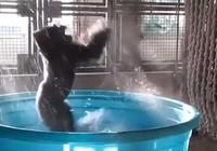 Khỉ đột phấn khích 'quẩy' trong bồn tắm